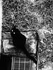 little observer (saraconve) Tags: cat cats animals black white gatto gatti animali bianco e nero contrast animal bw blackandwhite biancoenero nikon coolpix p600 nikoncoolpix