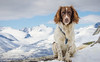 Rondane Dog (Ben McKeown .thebigbluetree.com) Tags: scandanavia norway springer spaniel