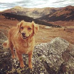 archie, the wonder dog (aprilpix) Tags: minigolden retriever mayflower glutch colorado hiking fall aprilpix