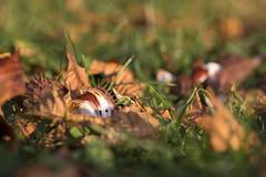 Aesculus (*MH*) Tags: kastanie kastanien rosskastanie aesculus herbst autumn chestnut laub blätter leaves