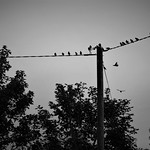 Starling silhouettes thumbnail