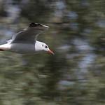a river gull thumbnail