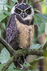 Spectacled Owl (fernaabs) Tags: spectacledowl pulsatrixperspicillata oropopo aves strigiformes strigidae pulsatrix fernaabs burgalin avesdecostarica