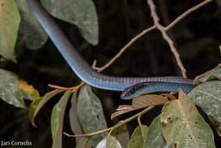 True Blue Common Tree Snake (Dendrelaphis punctulata)