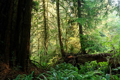 Prairie Creeks Redwoods State Park (alanmeyer.california) Tags: prairiecreeksredwoodsstatepark california redwoods forest trees bigtrees talltrees ferns path hiking green serene peaceful landscape