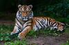 Queen Arila (sigridspringer) Tags: säugetiere raubtiere raubkatzen sibirische tiger arila tochter von dasha duisburger zoo