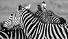 Burchell's Zebra (Equus quagga burchellii) (nils.loland) Tags: animals burchellszebra equusquaggaburchellii kenya mammal nairobi nairobinationalpark nature nikond7000 sebra sigma150500 sommerferie2017 wildlife zebra