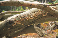 epp42 (Tony Wyatt Photography) Tags: eppingforest epping forest london woods trees beech mushrooms flyagaric alienmushroom puffball corporationoflondon autumn roots treeroots austin austinofengland austincar oldfolks