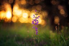 Save The Last Dance (der_peste) Tags: bokeh dof trioplan trio meyeroptik shallowdepthoffield bokehlicious bokehlover flower sunset sundown circlesofconfusion