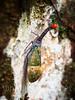 Lantern bug (whitworth images) Tags: jungle tasiktemenggor wings lantern asia nature southeastasia trunk fulgoridae insect nose red long animal malaysia lanternbug funny camouflage unusual tree forest bug perak outdoors laketemenggor rainforest belum lichen detail gerik