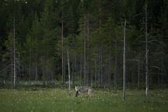 Louve alpha (Samuel Raison) Tags: loup wolf wolfe louve canislupus greywolf graywolf finlande finland nature wildlife wild animalplanet