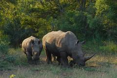 magnificent White Rhino and Calf (cirdantravels (Fons Buts)) Tags: rhino rhinoceros squarelippedrhinoceros nashorn neushoorn rhinocéros ceratotherium