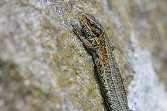 Basking Lizard (Tim Melling) Tags: zootoca lacerta vivipara common viviparous lizard peak district timmelling