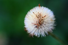 A new wish (curiouscameras) Tags: seeds 90mm dandelion green white macro wish weeds