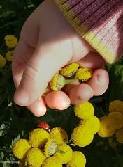 My precious💝 (evakongshavn) Tags: flowers yellowflower tansy plant plants planter yellow tanacetumvulgare reinfann blomster guleblomster