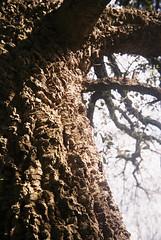 Cork oak (avenwildsmith) Tags: film 35mm nature devon countryside analog analogue kodak retinette 1b grain england britain wild wilderness tree trees bark plant plants close up 35mmfilm kodakretinette1b