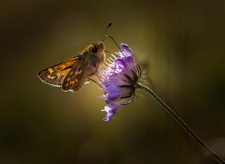 Rim lit Silver Spotted Skipper.Nectaring on Field Scabius.