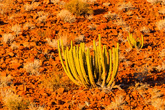 P1030010 (Seb_Jan) Tags: namibie namibia afrique africa afrika summer 2017 road trip roadtrip travel adventure holiday nature explore lumix wildlife safari picoftheday photooftheday dune desert naukluft cactus tree plant plante namib