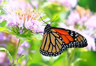 monarch male nectaring on wild bergamot at Decorah Fish Hatchery IA 854A6288