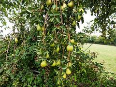 Pear tree (Elise de Korte) Tags: fr france frankrijk ldf lafrance campagne country fruit fruitboom fruits peer platteland vrucht vruchten