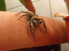 Saltícido (Marta T.L.) Tags: arañasaltadora jumpingspider salticidae arthropod invertebrate
