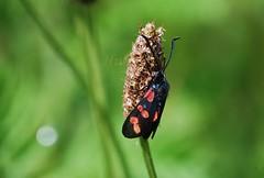 Six-spot burnet (hub en gerie) Tags: sixspotburnet stjansvlinder vlinder butterfly nature garden tuin natuur green groen black zwart spots dots red rood allnaturesparadise