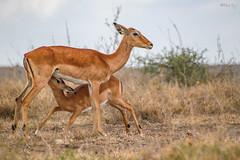 Wildlife brings Unbiased love (TRJphotography) Tags: love mother wildlife canon 7dm2 kenya nnp safari nature outdoor