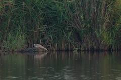 Adelr_20170822_207 (reneadelerhof) Tags: fishing hunting vissen reiger ralreiger üstökösgém squacco heron eempolder utrecht dwaalgast