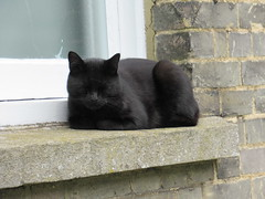 Monday 7th, Sleeping cat IMG_2731 (tomylees) Tags: black windowsill bockingend braintree essex 2017 august 7th monday