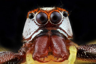 Jumping  spider portrail