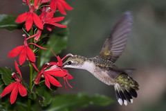 Ruby-throated Hummingbird (John Picken) Tags: animal backyard bird chicago illinois lakeview ornithology picken rubythroatedhummingbird bif stamen pollinator pollination flower plant anther