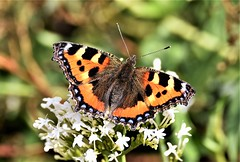Tortoisehell feeding. (pstone646) Tags: butterfly nature insect colours wings feeding flower animal plant kent bokeh smalltortoiseshell fauna flora ngc