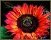 (Cliff Michaels) Tags: iphone iphone6 photoshop pse9 flower flora kroger petals