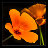 Californian Poppy (Roger Walton) Tags: californianpoppy poppies flowers york northyorkshire england