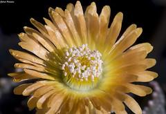 Aloinopsis malherbei