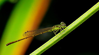 male Fragile Forktail (Ischnura posita)