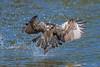 Shad and splash (Khurram Khan...) Tags: osprey wildlife wildlifephotography wwwkhurramkhanphotocom wild birdsofprey birdsphtography naturephotos ilovewildlife ilovenature iamnikon river sun fish