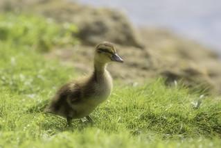 Duck - baby