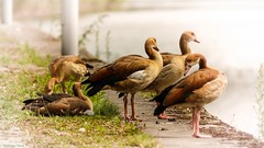 The geese of Egypt (YᗩSᗰIᘉᗴ HᗴᘉS +7 000 000 thx❀) Tags: birds oies goose geese animal nature hensyasmine faune fana 7dwf