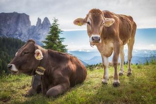 Kühe Nr. 7801 + 7802