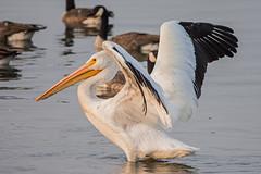 American White Pelican (nickinthegarden) Tags: americanwhitepelican ionaregionalparkrichmondbc canada