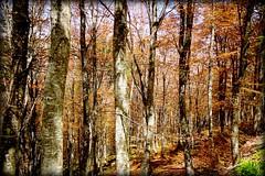 Bosco (Enzo Ghignoni) Tags: alberi bosco foglie