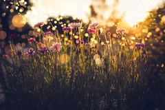 One Summer Night... (miss.interpretations) Tags: summer flowers sunset goldenhour pink golds leaves grass nature outdoor floral bokeh castlerock rachelbrokawphotography colorado warmevenings summernights magic evenings warm sunrays rainbow twinkling fairydust