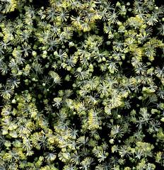 58484.01 Thalictrum polygamum (horticultural art) Tags: horticulturalart thalictrumpolygamum thalictrum flowers pattern