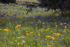 wildflowers profuse (Jeff Mitton) Tags: wildflower colorado meadow gothic subalpine earthnaturelife wondersofnature