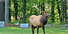 """""""It's of a gentleman soldier as sentry he did stand."""" (Shannon Rose O'Shea) Tags: shannonroseoshea shannonosheawildlifephotography shannonoshea shannon wild wildbullelk bullelk elk cervuscanadensis bull antlers rack radiocollar cemetery stceciliacemetery benezette pennsylvania winslowhillroad headstones flag americanflag grass green trees nature wildlife animal art wildlifephotography wildelk photo photography camera outdoors outdoor flickr wwwflickrcomphotosshannonroseoshea elkcounty fauna canon canoneos80d canon80d eos80d 80d canon100400mm14556lisiiusm sentry colorful markers"""