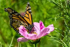 cosmos and monarch