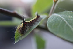 A little closer... 9.17 (JaneCarradus) Tags: garden nature wildlife insects caterpillar larva moth greydagger