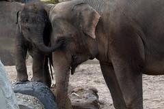 Watch this mam! (soetendaal) Tags: thong tai sanuk babyanimal artis zoo elephant calf veau éléphant elefantenkalb cría de elefante bezerro proboscis aziatische olifant zien animal oog eye