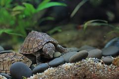 IMG_9984 (Laurent Lebois ©) Tags: laurentlebois france reptile rettile reptil рептилия tortue turtle tortoise tortuga tartaruga schildkröte черепаха chelonia sternotherus minor terrariophilie razorbackmuskturtle cinosterne